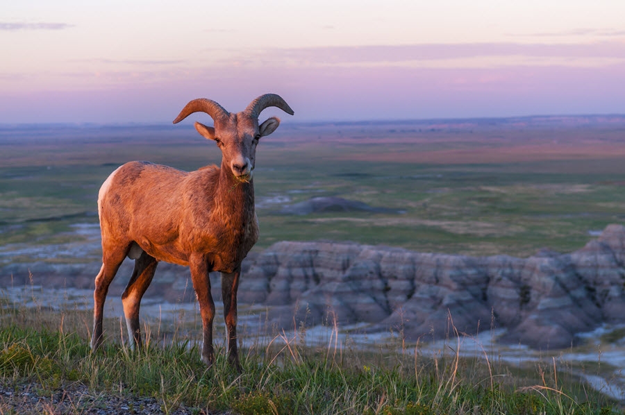 Badlands Bighorn Sheep.
