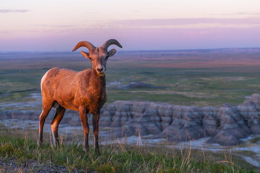 Badlands Bighorn Sheep.