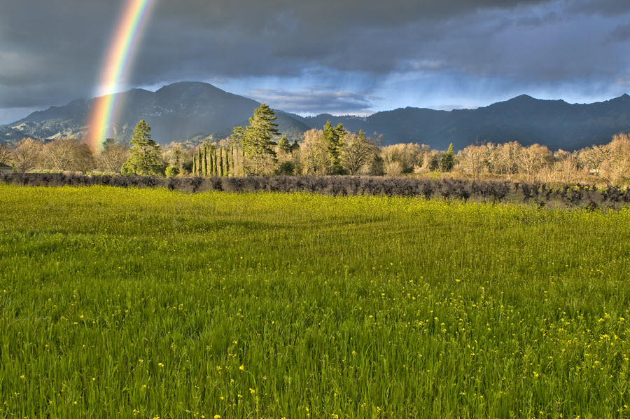 Rainbow in Napa Valley behind Mustard.